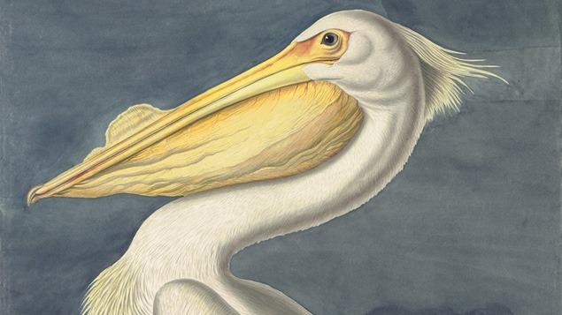 John James Audobon, American White Pelican.