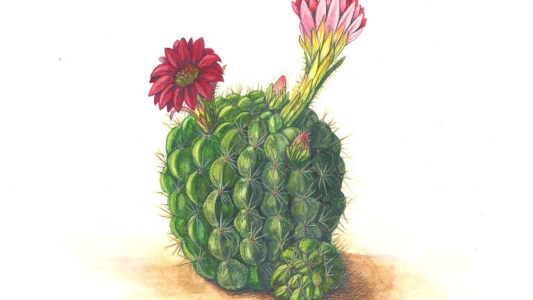 Natural Illustration: Succulents in Watercolor and Colored Pencil
