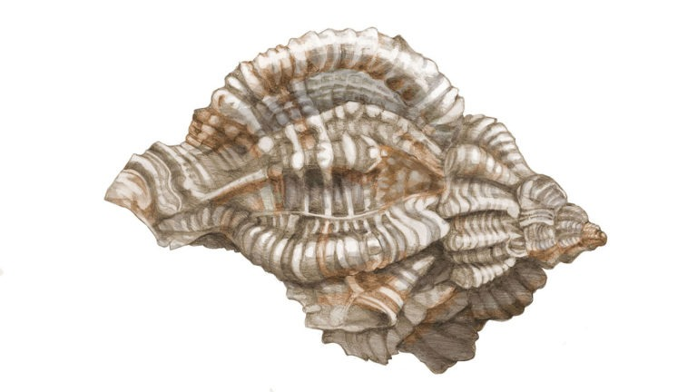 Natural Illustration: Sea Shells in Watercolor and Colored Pencil